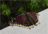 Tired Mourning Cloak Butterfly