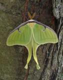 P1040779 Luna Moth