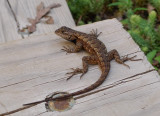 P1040791 Eastern Fence Lizard