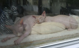 P1050111 Snoozing Sphynxes in the Front Window