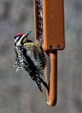 _MG_0100 Female Yellow Bellied Sapsucker