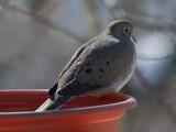 _MG_1371 Resting Dove