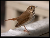 _MG_1480 Hermit Thrush
