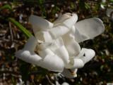 P1070279 Star Magnolia