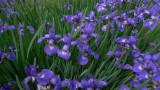 P1080085 Irises Irises Irises!