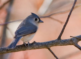 _MG_0307 Autumn Titmouse