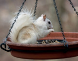 3330 White/Gray Squirrel Cross