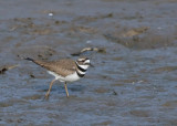 _MG_3451 Killdeer