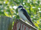 P1000779 swallow