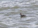Duck scoter surf CBBT 1-09 a.JPG