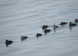 duck scoter black-surf cbbt 1-10a.JPG