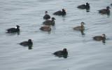 duck scoter black-surf cbbt 1-10aa.JPG
