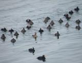 duck scoter black-surf cbbt 1-10aaaa.JPG