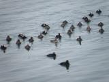 duck scoter black-surf cbbt 1-10aaaaa.JPG