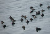duck scoter black-surf cbbt 1-10aaaaaaaa.JPG