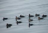 duck scoter black-surf cbbt 1-10b.JPG