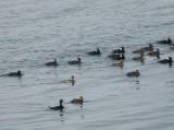 duck scoter black-surf cbbt 1-10f.JPG