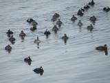 duck scoter black-surf cbbt 1-10g.JPG