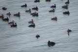 duck scoter black-surf cbbt 1-10h.JPG