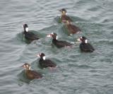 Duck Scoter surf CBBT 1-10b.JPG