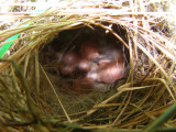 Finch House Nest d.JPG