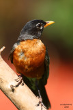 American Robin. Kewaskum, WI