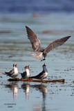 Black Terns. Horicon Marsh, WI