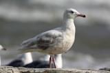 Glaucous Gull. Sheboygan, WI