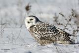 Snowy Owl. Waukesha, WI