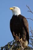 Bald Eagle. Samish Flats, WA