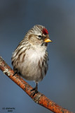 Common Redpoll. Kewaskum, WI