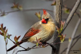 Northern Cardinal, Lake Park, Milwaukee
