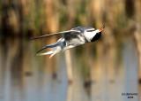 Forster's Tern doing a backflip. Horicon Marsh, WI