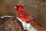 Northern Cardinal. Chesapeake, OH