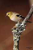American Goldfinch, Chesapeake, OH