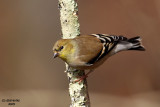 American Goldfinch. Chesapeake, OH