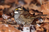 White-throated Sparrow. Chesapeake. OH