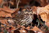 Song Sparrow. Chesapeake, OH