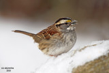 White-throated Sparrow. Chesapeake, OH