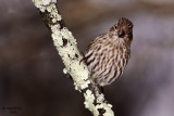 Purple  Finch. Chesapeake, OH