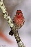 House Finch. Chesapeake, OH