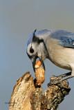 Blue Jay. Newburg, WI