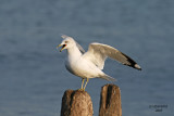 Ring-billed Gull. North Point - Milwaukee, WI