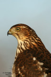 Coopers Hawk.  Newburg, WI