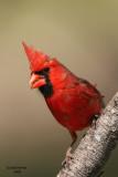 Northern Cardinal. Kewaskum, WI
