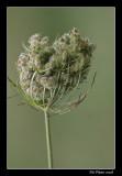 Carotte sauvage (inflorescence) - Daucus carota