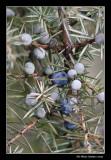 Génévrier commun - Juniperus communis