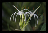 Lys araignée - Hymenocallis littoralis