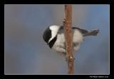 Mésange à tête noire - Black-capped Chickadee - Poecile atricapillus