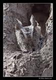 Petit-duc maculé (forme grise) - Eastern Screech-Owl
